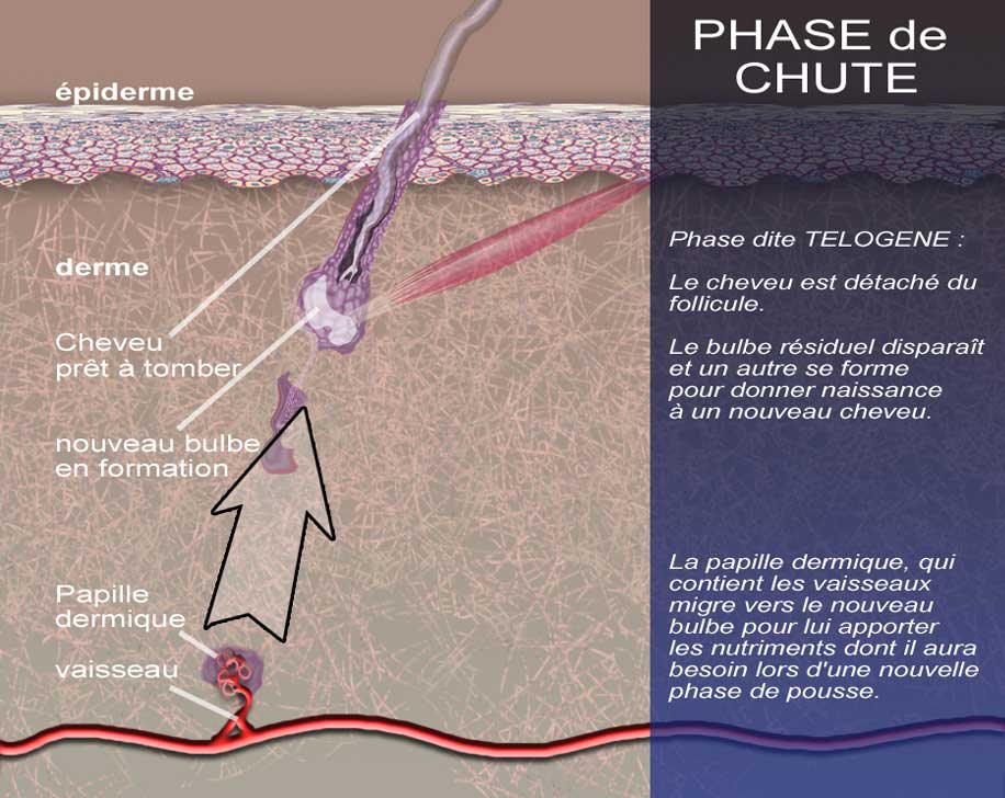 DERMATO-INFO, L'Alopécie