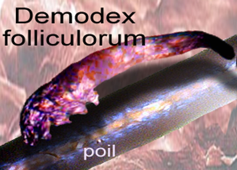 Follicule demodex