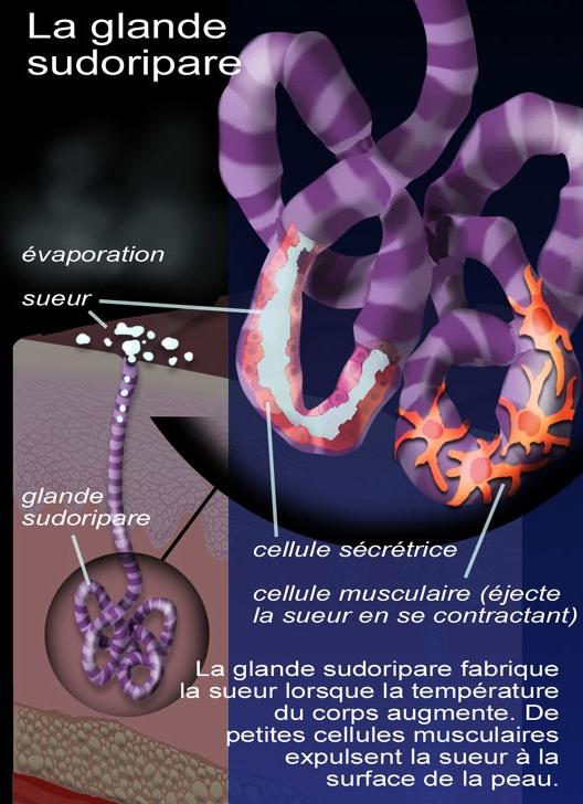 rôle elastine peau